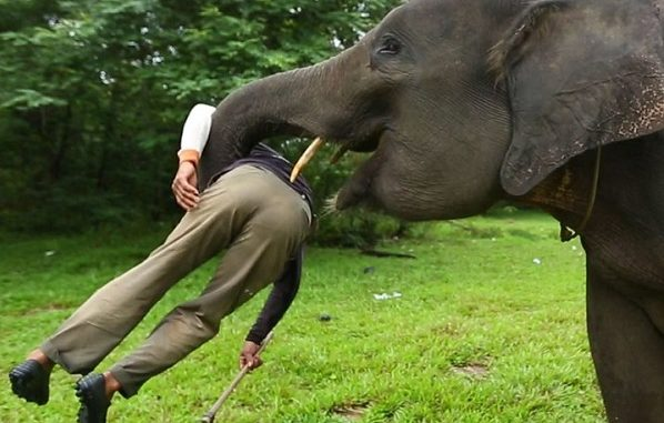 Elephant Handler Died In A Tragic Accident, See Levi Suwitha Video